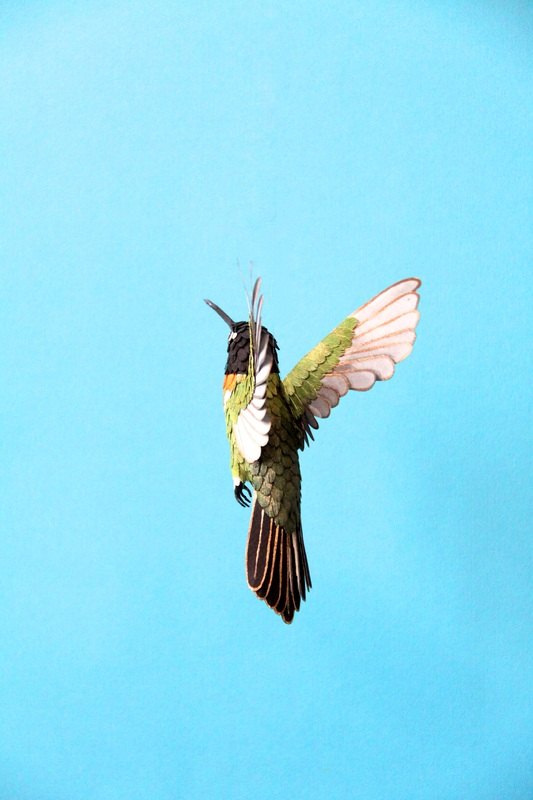 inca-collared-hummingbird-2014